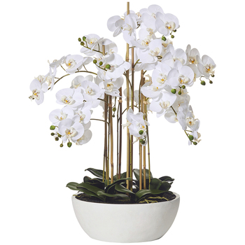 Rogue Butterfly Orchid Round Pot